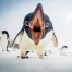 When Penguins Attack. Photograph by Clinton Berry, National Geographic Your Shot