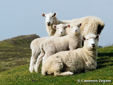 Sheep Family Portrait. Photograph by Cameron...