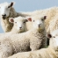 Sheep Family Portrait. Photograph by Cameron Zegers, National Geographic Your Shot