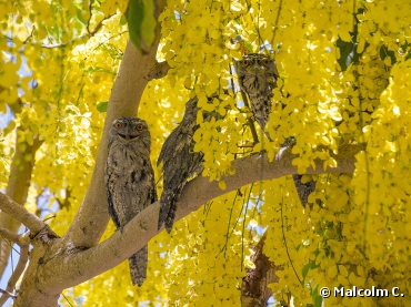 Tawny Frogmouths. Photograph by Malcolm C.,...
