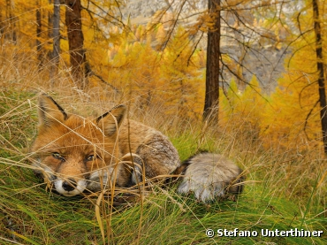 Fox Found. Photograph by Stefano Unterthiner,...