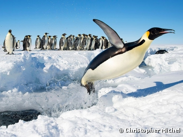 When Penguins Fly. Photograph by Christopher...